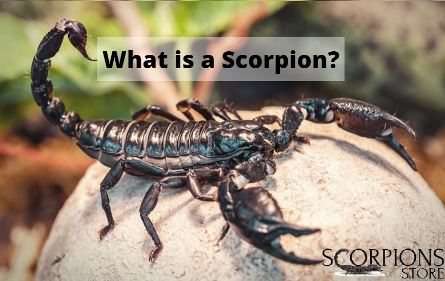 WHAT IS A SCORPION ?